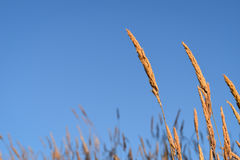 Wheat Grass on a Blue Day stock photo