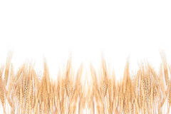 Wheat Grass Bordering on a White Background Royalty Free Stock Images