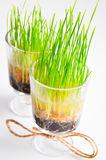 Wheat grass in a bowl Stock Image
