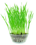Wheat grass Stock Photography