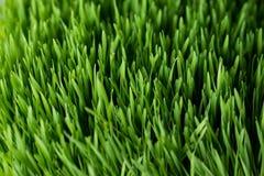 Free Wheat Grass Closeup Royalty Free Stock Photography - 36236297
