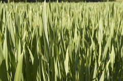 Wheat grass. Closeup of grain in the grass, in the month of April 2014 Italy Royalty Free Stock Photography