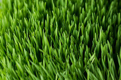 Wheat grass closeup Royalty Free Stock Photography