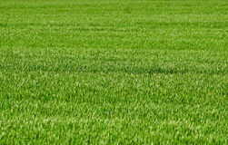 Wheat grass in the countryside Stock Image