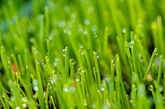 Wheat grass with dew Stock Image