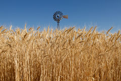Wheat Grass in Farm Field with Windmill Stock Photos