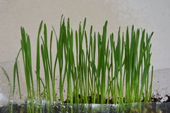 Wheat grass for feeding pet grow in plastic bottle Royalty Free Stock Photography