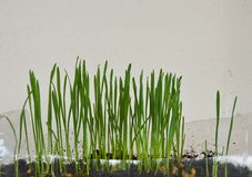 Wheat grass for feeding pet grow in plastic bottle Stock Image