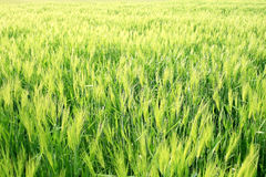 Wheat Grass Field Stock Photo