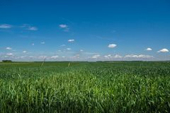 Wheat grass field with colorful blue skies stock image
