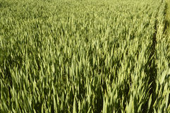 Wheat grass. A field of wheat grass, close-up in the month of April 2014 Italy Royalty Free Stock Photo