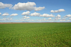 Wheat Grass Field Royalty Free Stock Images