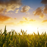 Wheat grass on the field during sunrise. Stock Photo