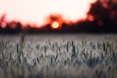 Wheat grass field in the sunset stock images
