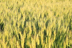 Wheat grass filed against sunlight Royalty Free Stock Photo