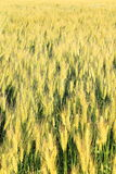 Wheat grass filed against sunlight Stock Photos