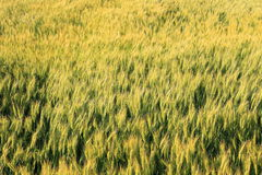 Wheat grass filed against sunlight Royalty Free Stock Photos
