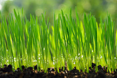Wheat grass. Fresh green wheat grass organic with drop dew growing in naturen Royalty Free Stock Image
