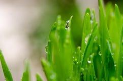 Wheat grass Stock Photos