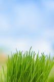 Wheat grass Royalty Free Stock Photo