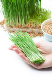 Wheat grass in hand Stock Images