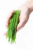 Wheat grass in hand Royalty Free Stock Images