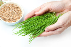 Wheat grass in hands Royalty Free Stock Image