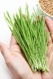 Wheat grass in hands Royalty Free Stock Images