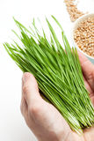 Wheat grass in hands Stock Photography