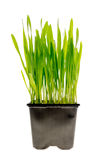 Wheat grass isolated Stock Photography