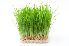Wheat grass. Isolated on white Stock Photography