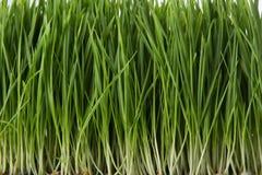 Wheat grass Stock Photography