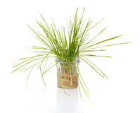 Wheat grass in a jar on white background stock photo