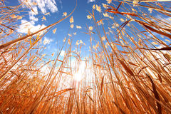 Wheat Grass Outdoors on a Sunny Day Stock Images