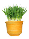 Wheat grass in pot. Fresh organic wheat grass in a yellow ceramic container isolated on white stock photo