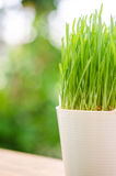 Wheat grass in pot Stock Image
