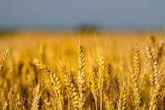 Wheat grass ready for harvest close take stock photography
