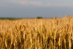 Wheat grass ready for harvest royalty free stock image