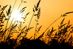 Wheat Grass Silhouette at Sunset Stock Photo