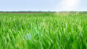 Wheat grass on the Spring wind stock footage