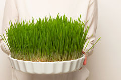 Wheat grass. Urban cultivation  and gardening. Royalty Free Stock Photography