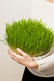 Wheat grass. Urban cultivation  and gardening. Stock Image