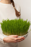 Wheat grass. Urban cultivation  and gardening. Royalty Free Stock Images