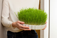 Wheat grass. Urban cultivation  and gardening. Stock Photos