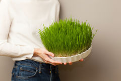 Wheat grass. Urban cultivation  and gardening. Royalty Free Stock Image