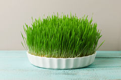 Wheat grass. Urban cultivation  and gardening. Stock Images
