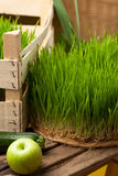 Wheat grass. Urban cultivation  and gardening. Stock Photography