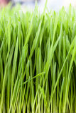 Wheat grass. Vertical close up shot of wheat grass Stock Image