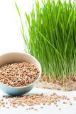 Wheat grass and wheat. In bowl composition on white table Royalty Free Stock Images