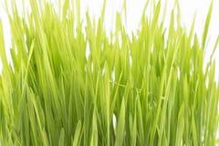 Wheat grass on a white background Royalty Free Stock Photos